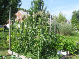 Corn Aug 11